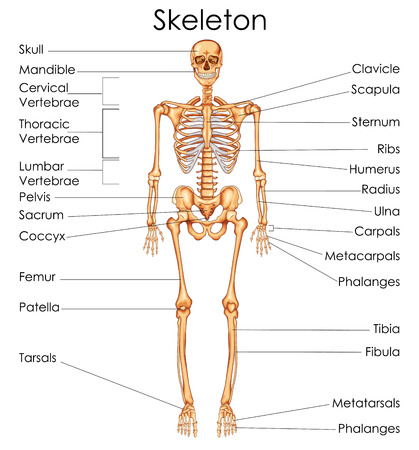 Medical Education Chart Of Biology For Human Skeleton Diagram