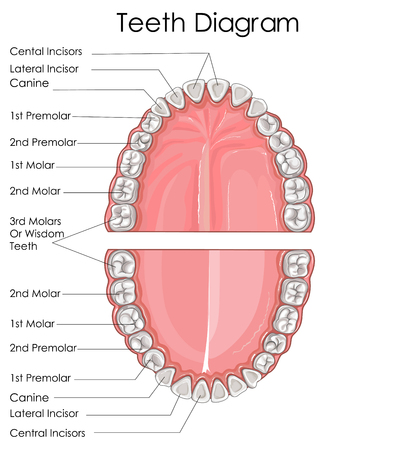 Medical Education Chart of Biology for Human Teeth Diagram. Vector illustration Illustration