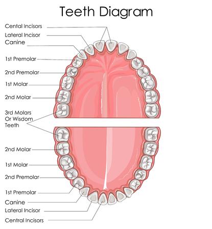 Wykres edukacji medycznej w biologii dla ludzkiego diagramu zęba. Ilustracji wektorowych