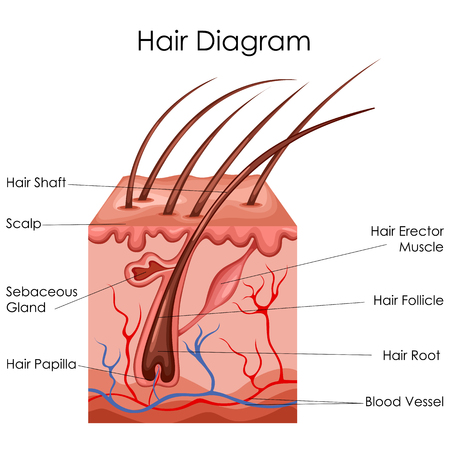 sebaceous gland: Medical Education Chart of Biology for Hair Diagram. Vector illustration