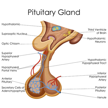 Medical Education Chart of Biology for Pitutary Gland Diagram. Vector illustration