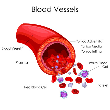 Medical Education Chart of Biology for Blood Vessel Diagram. Vector illustration
