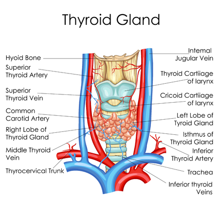Medical Education Chart of Biology for Thyroid Gland Diagram. Vector illustration