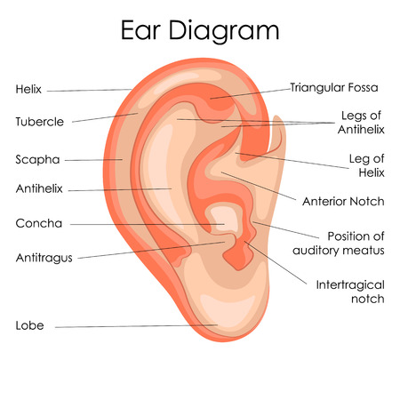 Medical Education Chart of Biology for Human Ear Diagram. Vector illustration