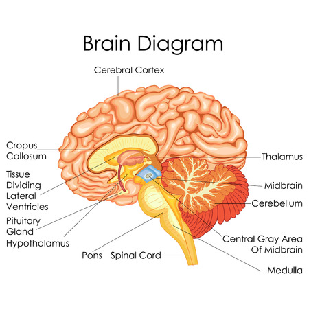 Carta de la educación médica de la biología para el diagrama del cerebro humano. Ilustración del vector