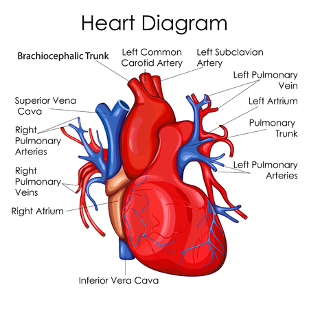 Medical Education Chart of Biology for Heart Diagram. Vector illustration.