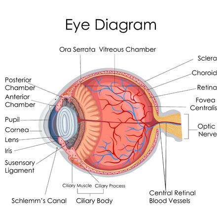 Medical Education Chart of Biology for Human Eye internal Diagram. Vector illustration.