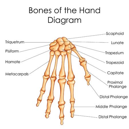 Medical Education Chart Of Biology For Bones Of Hand Diagram Royalty