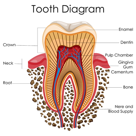 Medical Education Chart Of Biology For Tooth Anatomy Diagram Royalty ...