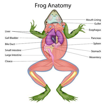 개구리 다이어그램의 해부 된 신체에 대한 생물학 교육 차트