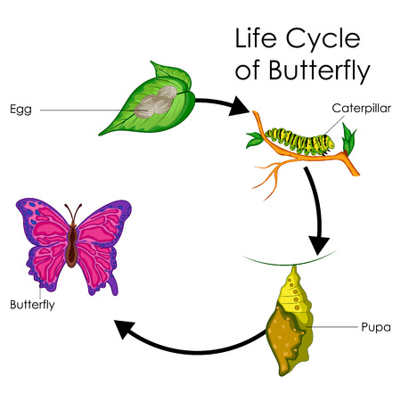 pupa: Education Chart of Biology for Life Cycle of Butterfly Diagram
