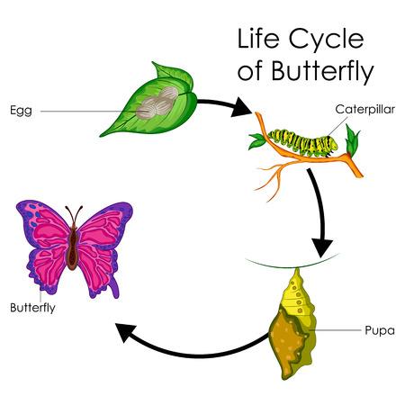 Tabla de educación de biología para el ciclo de vida del diagrama de mariposa