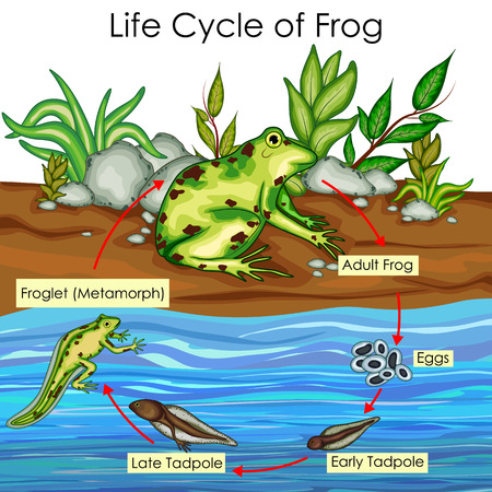 Education Chart of Biology for Life Cycle of Frog Diagram