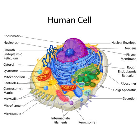Education Chart of Biology for Human Cell Diagram  イラスト・ベクター素材