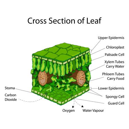 Grafico di educazione della biologia per la sezione trasversale del foglio Schema Vettoriali