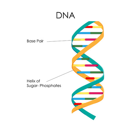 Education Chart of Biology for DNA Structure Diagram
