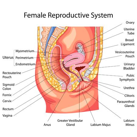여성 생식계 다이어그램을위한 생물학 교육 차트 일러스트