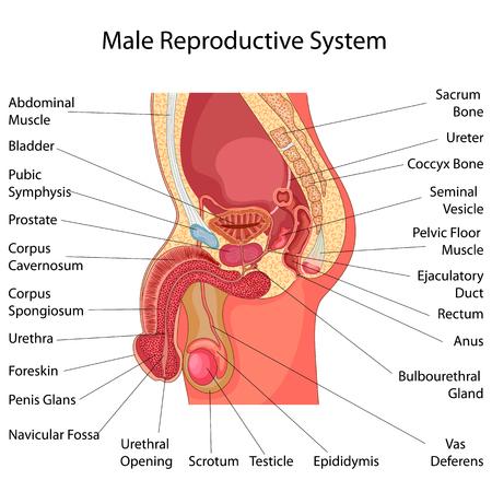 Bildungsdiagramm Der Biologie Für Weibliches Reproduktionssystem ...