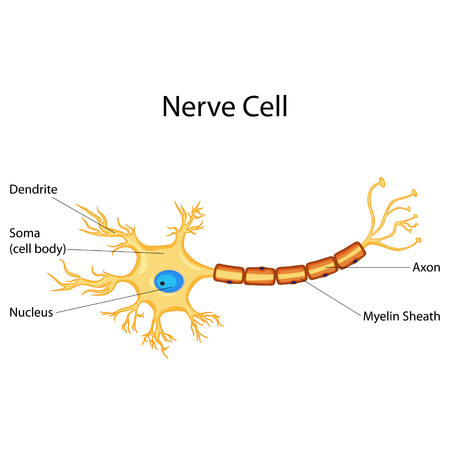 Education Chart of Biology for Nerve Cell Diagram