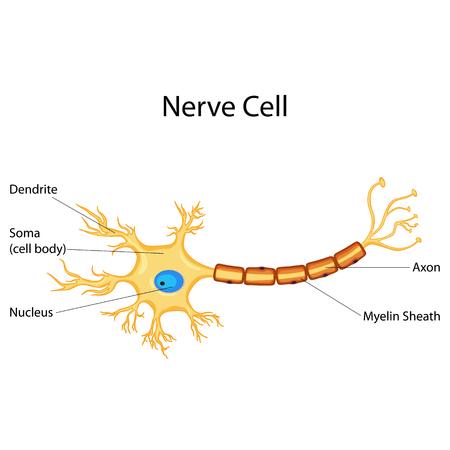Ausgezeichnet Diagramm Nerven Galerie - Anatomie Von Menschlichen ...