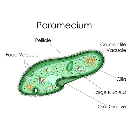 Education Chart of Biology for Paramecium Diagram
