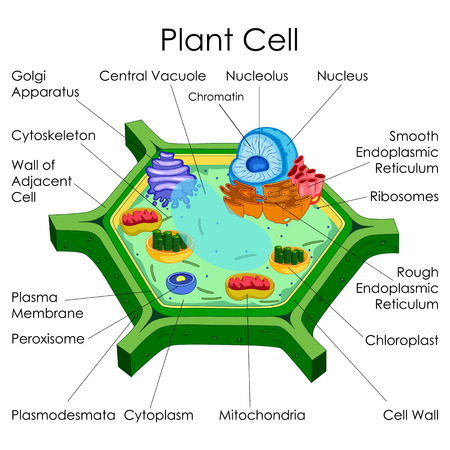 Education Chart Of Biology For Plant Cell Diagram Stock Photo