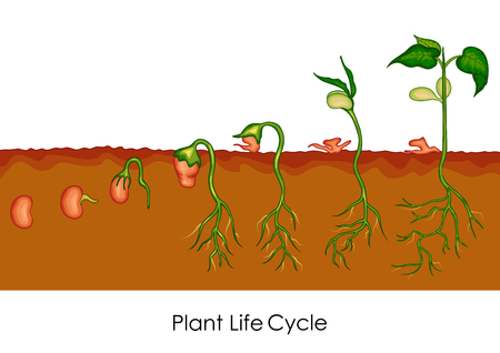 seeding: Education Chart of Biology for Plant Life Cycle Diagram