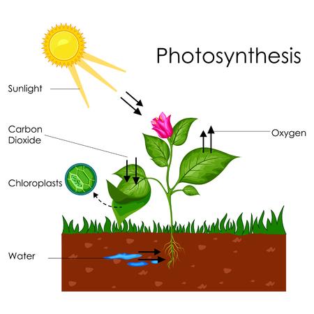 Opleidingsdiagram van biologie voor het procesdiagram van fotosynthese Stockfoto