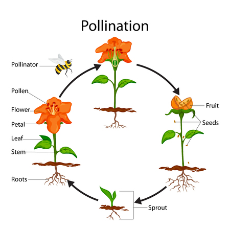Education Chart of Biology for Pollination Process Diagram Stock Photo
