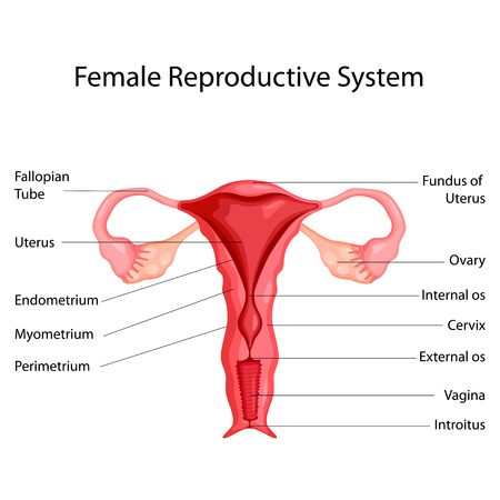 Education Chart of Biology for Female Reproductive System Diagram   Vector illustration.
