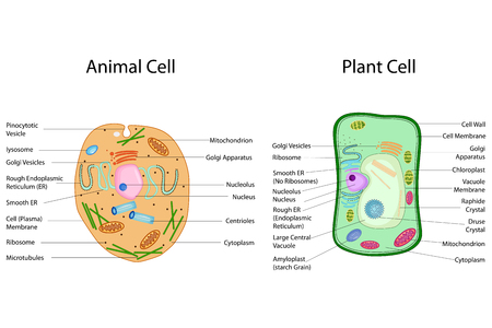 Education Chart of Biology for Animal and Plant Cell Diagram.
