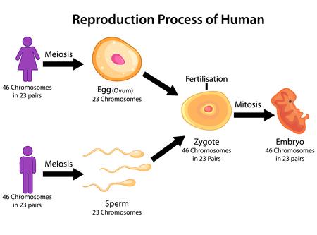 Gráfico de educación de la biología para el proceso de reproducción del diagrama del vector del diagrama humano. Ilustración de vector