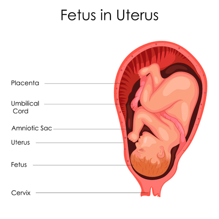 Education Chart Of Biology For Fetus In Uterus Diagram Stock Photo