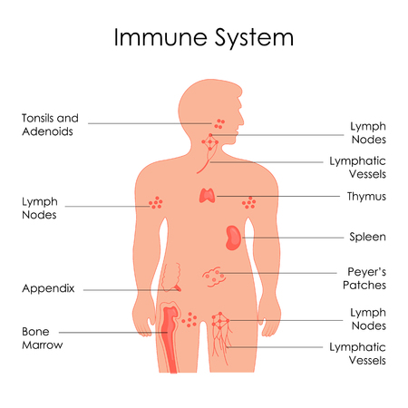 Education Chart of Biology for Immune System Diagram in Human Being Stock Photo