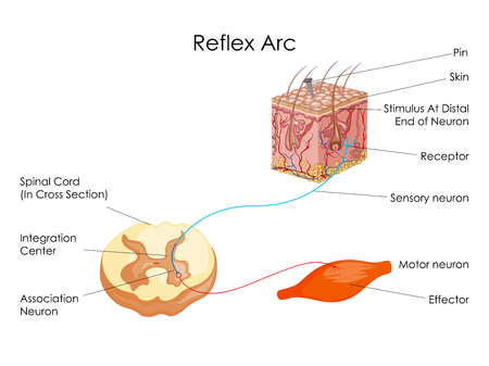 Education Chart of Biology for Reflex Arc Diagram