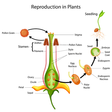 Education Chart of Biology for Reproduction in Plant Diagram Stok Fotoğraf