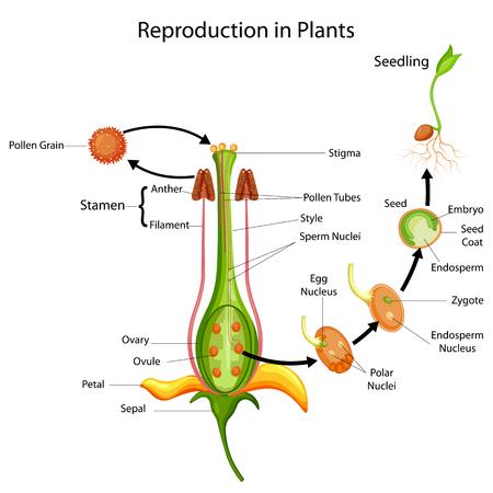 Grafico educativo di biologia per la riproduzione nel diagramma vegetale Archivio Fotografico - 98923773