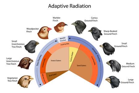Onderwijsdiagram van biologie voor adaptieve straling van Galapagos-vinken Diagram Stockfoto