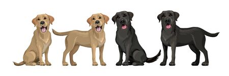 Gold yellow labrador retriever and black labrador retriever. Standing and sitting labradors isolated on white. Young and friendly dogs. Stock Illustratie