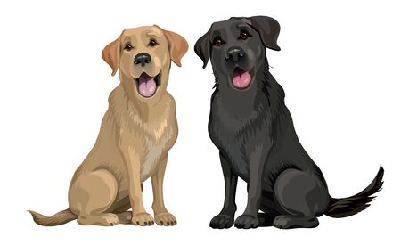 Yellow and black labrador retriever sitting isolated on white. Young and friendly dogs. 일러스트