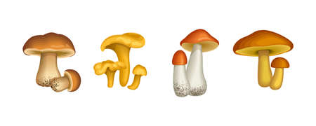 Edible wild mushrooms isolated on white. Chanterelle, orange-cap boletus vector illustration.