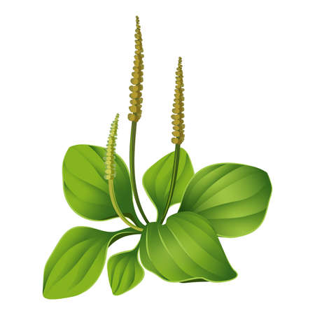 Plantain isolated. Realistic blooming plantain. Medical herb vector illustration.