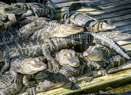 alligators: Alligators in captivity