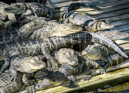 alligators: Alligators in captivity
