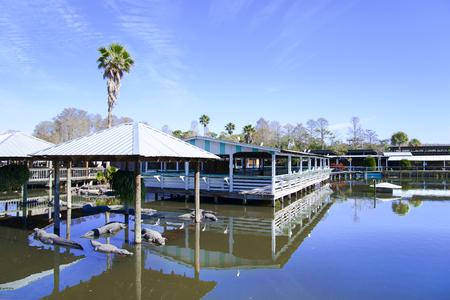 alligators: Gatorland Florida, view of alligators in captivity.