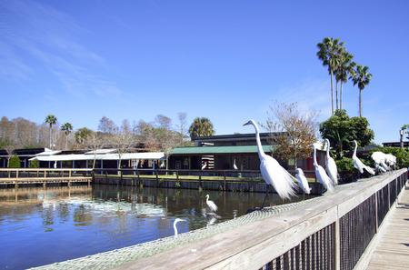 egrets: Great egrets in Gatorland, Florida, USA.