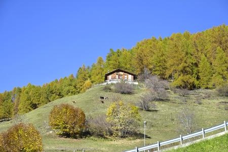 Valle di Rabbi, Caws grazing on a slope, Trentino Alto Adige, Italy.