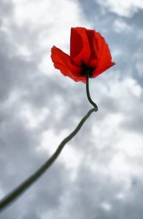Lonely poppy goes to sky Stock Photo - 47380664