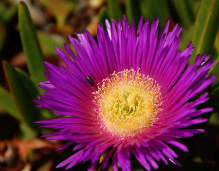 edulis: Carpobrotus edulis has become an invasive specie Stock Photo