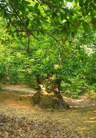 Grove of chestnut trees in Las Medulas, Leon, Spain